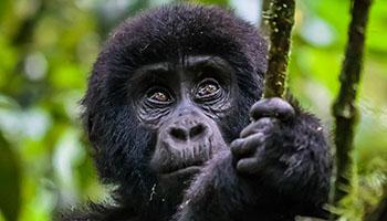 Budget Gorilla Trekking