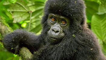 Gorilla Expeditions