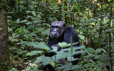 Rwanda Chimpanzee Trekking
