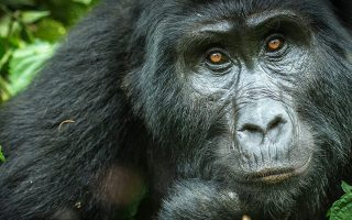 Mountain Gorilla Conservation
