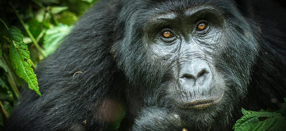 Mountain Gorilla Conservation