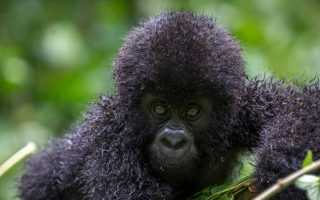 Do mountain gorillas live in families?