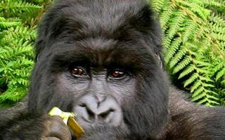 Uganda Mountain Gorilla in Bwindi