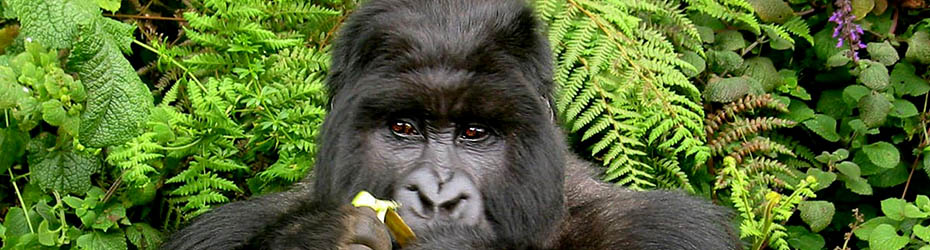 Uganda Mountain Gorilla in Bwindi