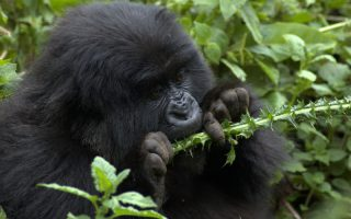 3 Days Volcanoes Gorilla Safari