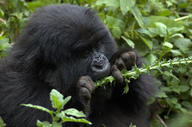 3 Days Volcanoes Gorilla Safari