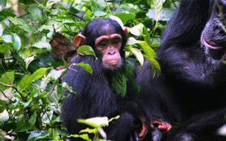 3 Days Chimpanzee Trekking in Kibale NP