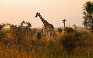 7 Days Uganda Classic Safari