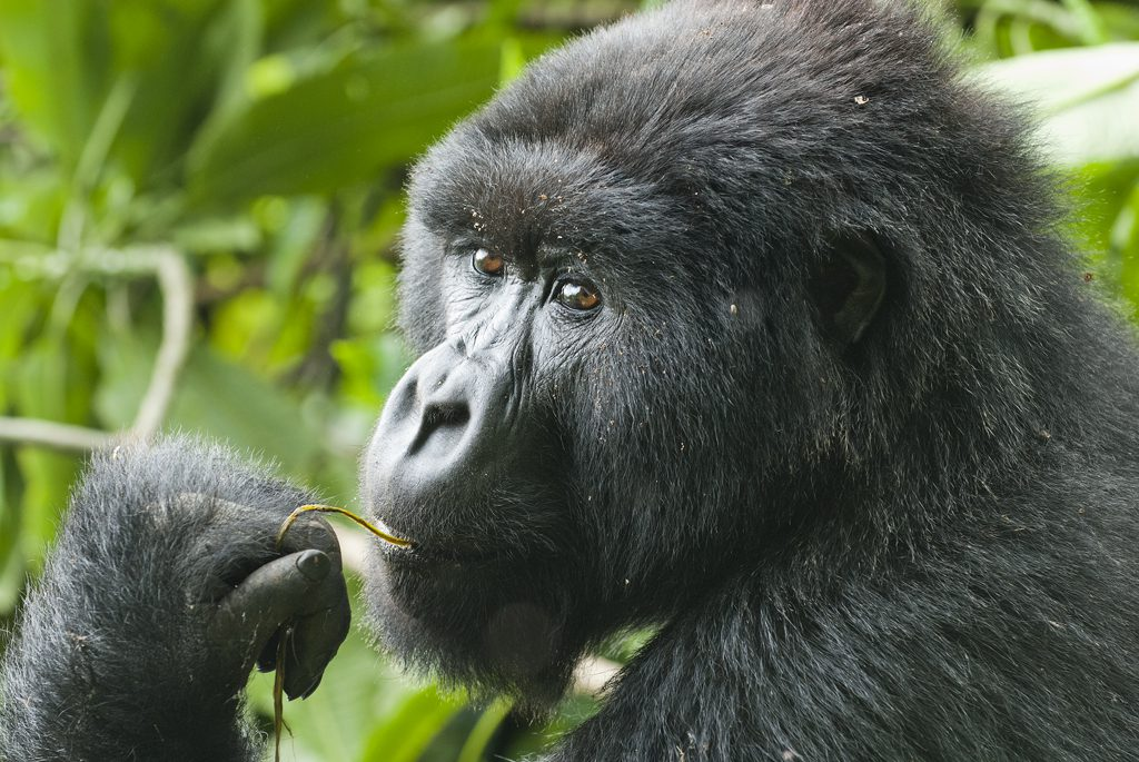 3 Days Bwindi Gorilla Tracking Safari