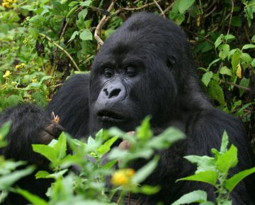 Affordable 3 Days Uganda Gorilla Trek