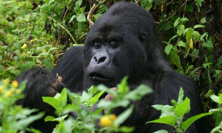 Affordable 3 Days Uganda Gorilla Trek