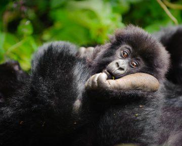 Budget Gorilla Trekking Uganda