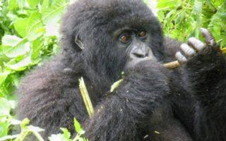 Best way to Survive a Gorilla Attack