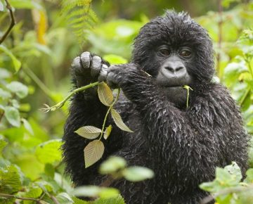 Mountain Gorilla Behavior
