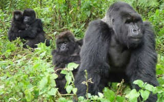 5 Days Bwindi Gorillas and Karisimbi Hike