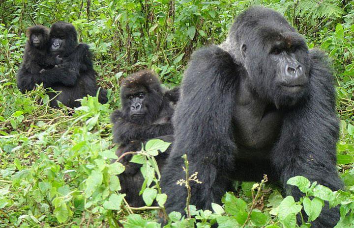 5 Days Bwindi Gorillas and Karisimbi Hike