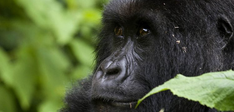 Awesome Facts about Mountain Gorillas