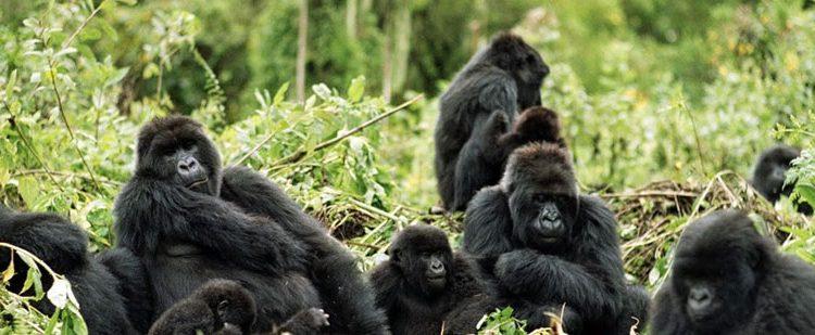 Characteristics of Mountain Gorillas