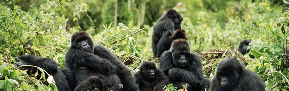 Characteristics of Mountain Gorillas