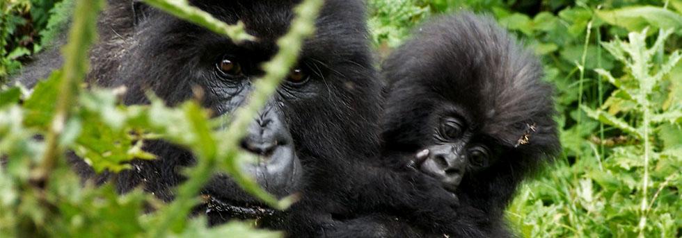 Mountain Gorilla Adaptations