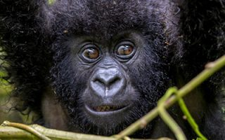 Gorilla Trekking Rules & Regulations