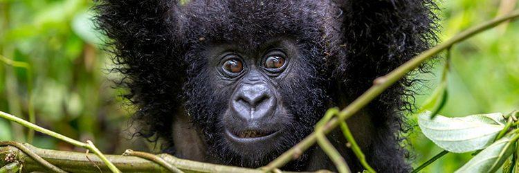 Gorilla Trekking Rules & Regulations