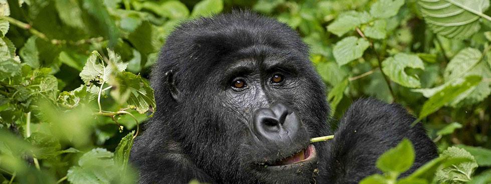 Lifespan of Gorillas