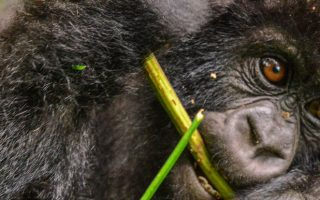 Mountain Gorilla Diet