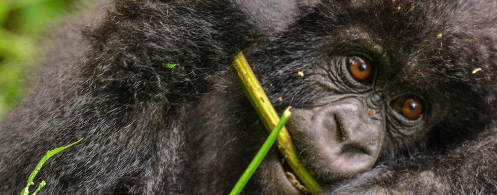 Mountain Gorilla Diet