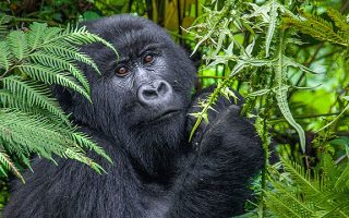 Mountain Gorilla Location in Africa