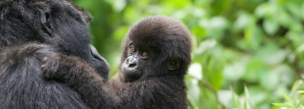 Mountain Gorilla Size, Height & Weight