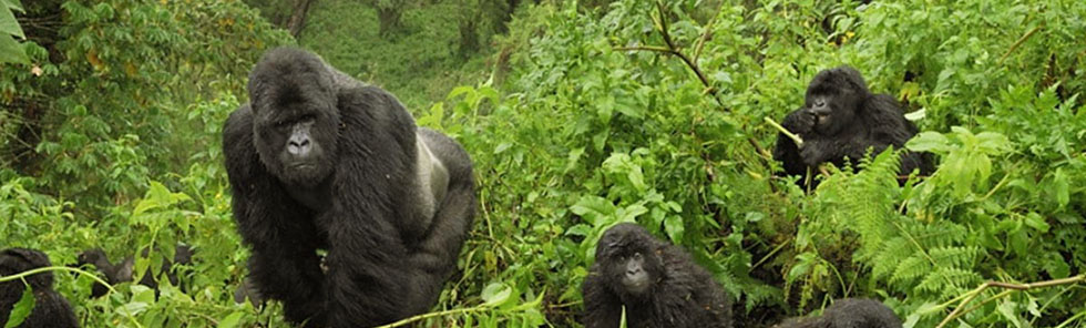 Natural Mountain Gorilla Predators