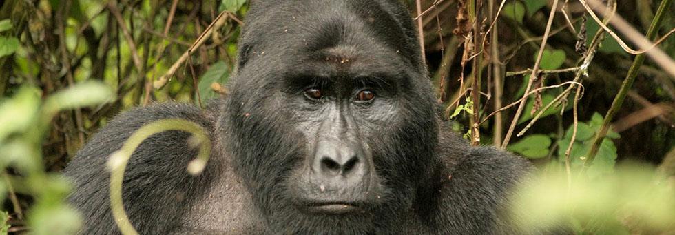 Ruhija Gorilla Trekking