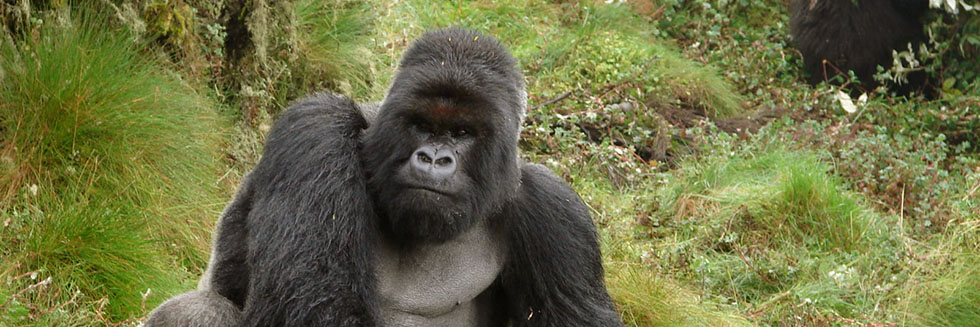 What is a Silverback Gorilla