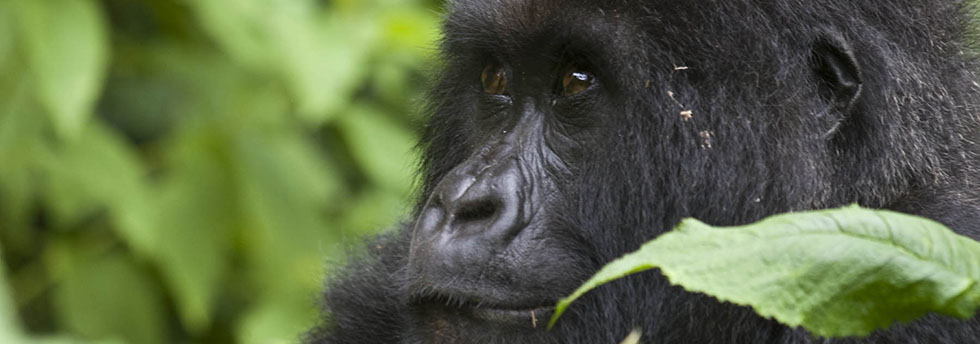 Why were Mountain Gorillas going extinct?