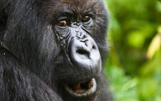 Cheapest way to see to see Gorillas in Uganda