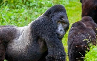 Difference Between Gorilla Habituation & Gorilla Trekking