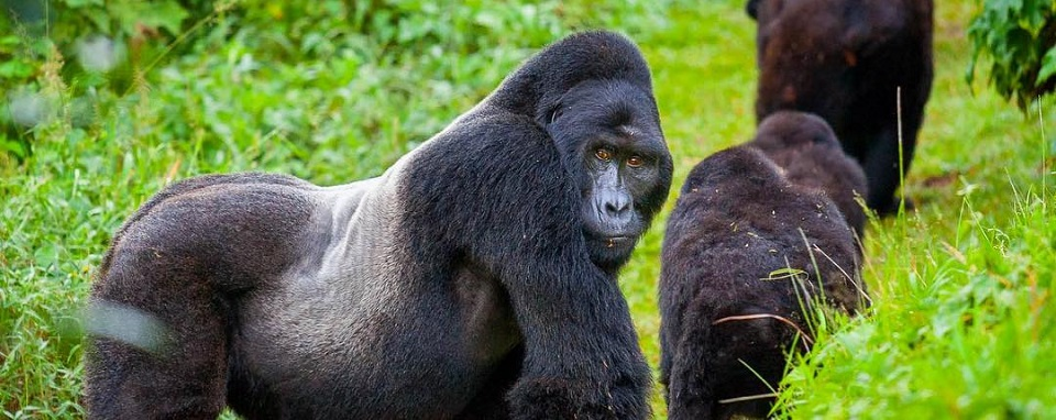 Difference Between Gorilla Habituation & Gorilla Trekking