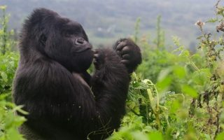 Discounted Gorilla Permits