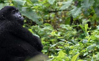 Gorilla Habituation Permits