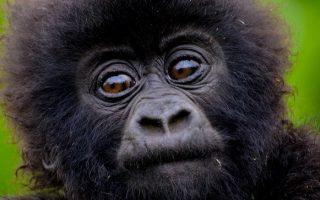 How do you call a Baby Gorilla