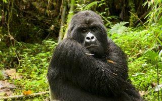How to Save Mountain Gorillas