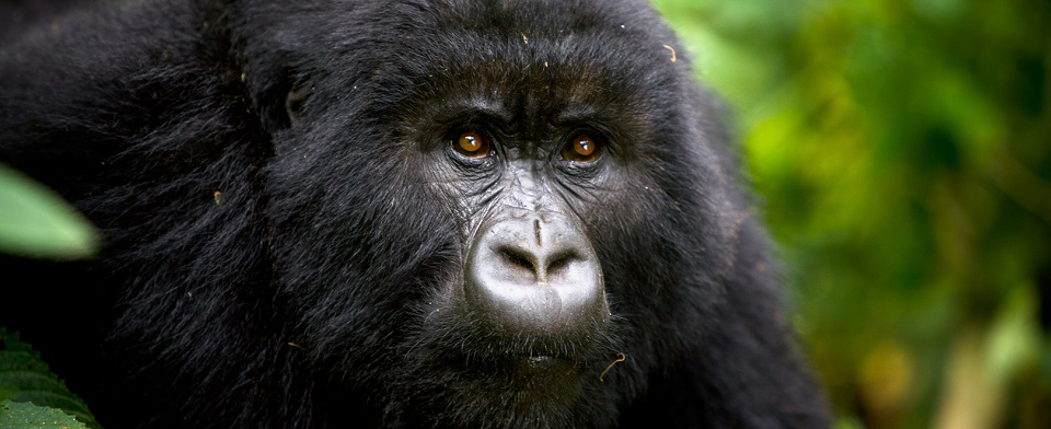 Is there Gorilla Habituation in Rwanda