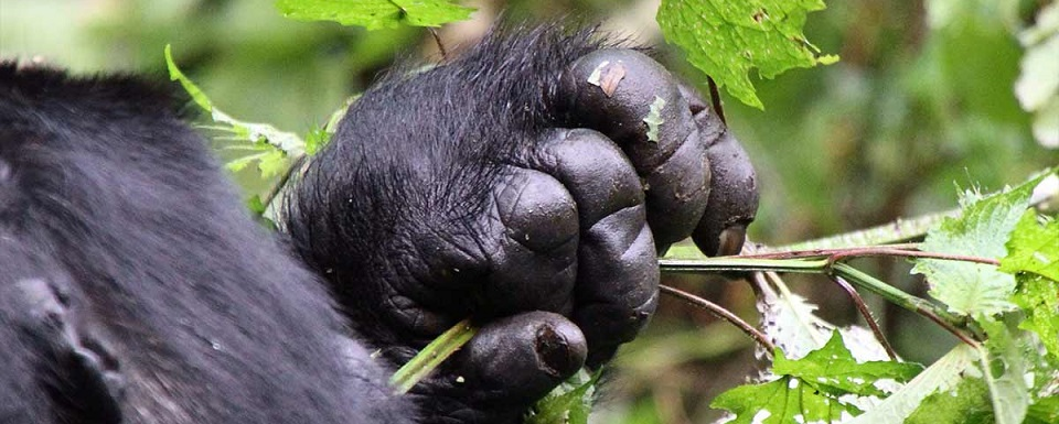Minimum Age for Gorilla Trekking