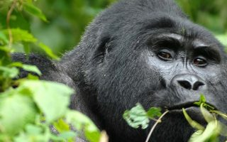 The Uganda Gorilla Habituation Experience in Rushaga