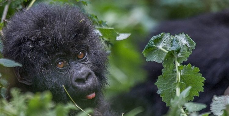 Why you Should book Gorilla Permits in Advance