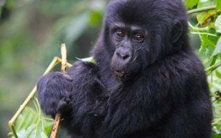 Advantages of Gorilla Tourism in Bwindi