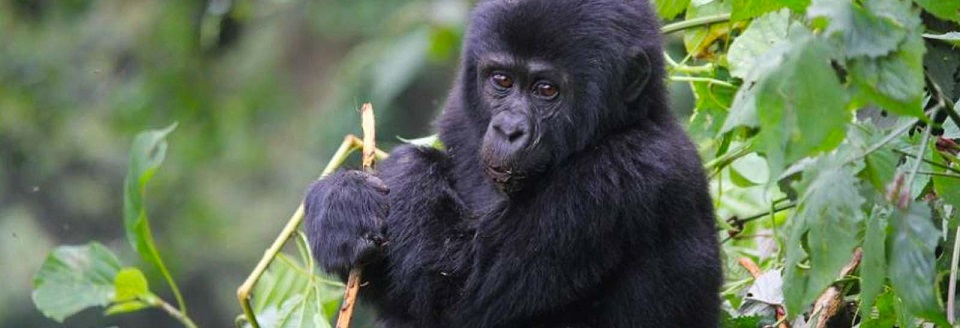 Advantages of Gorilla Tourism in Bwindi