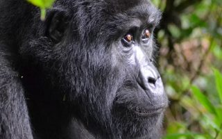 Best time to see Mountain Gorillas in Uganda