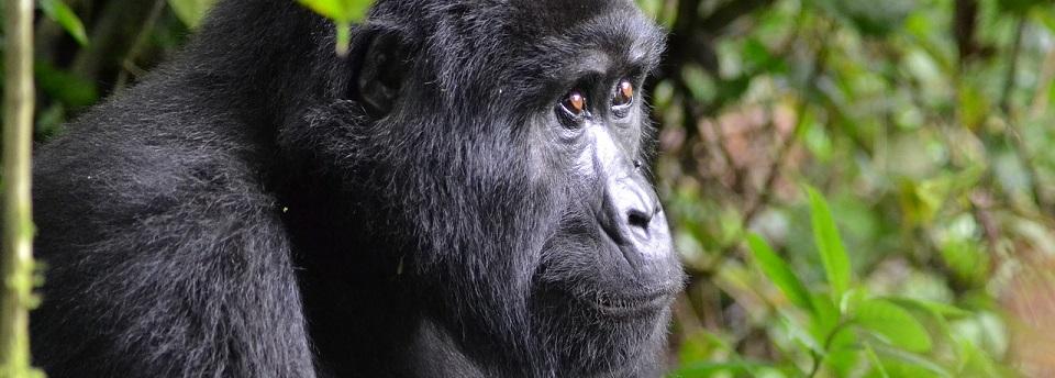 Best time to see Mountain Gorillas in Uganda